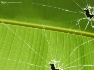 Broken vista banana leaf Picture