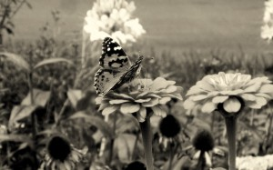 Black and White Butterfly Wallpaper Photo