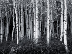 Black and White Forest Wallpaper Photo