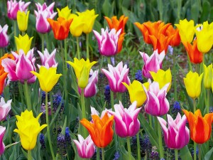 Colorful Tulips Desktop Background Image
